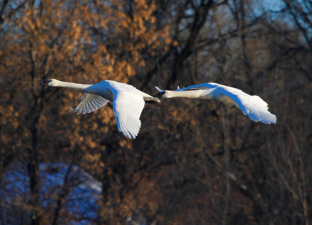 Trumpeter swans 18
