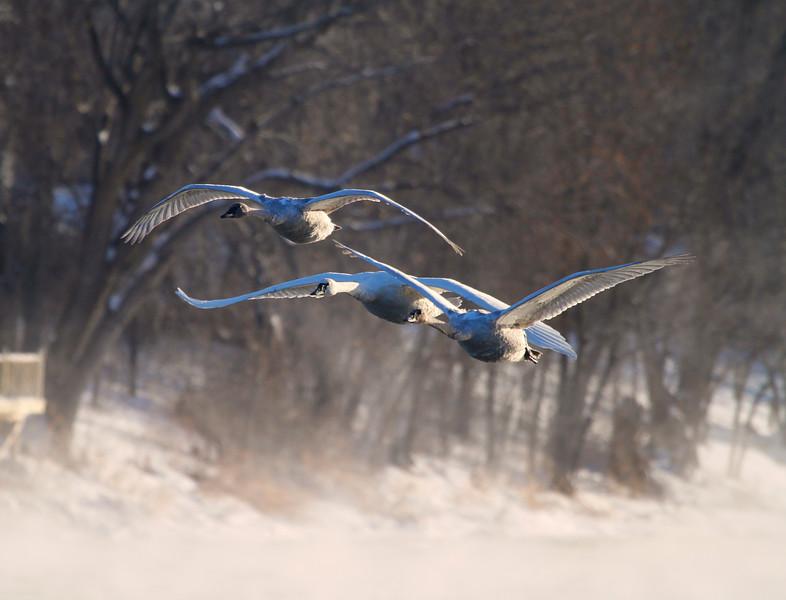 Trumpeter swans 63