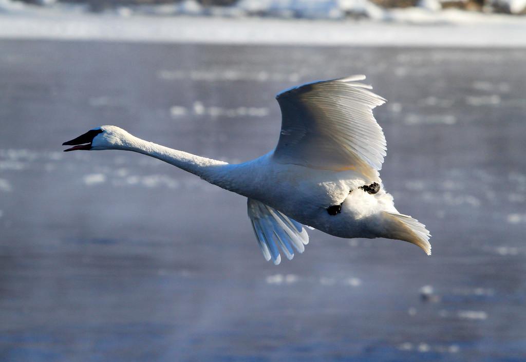 Trumpeter swans 41