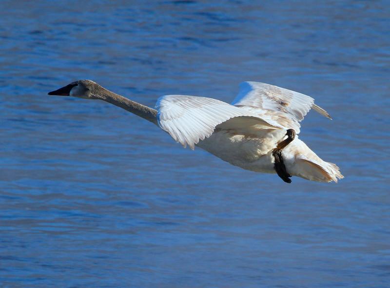 Trumpeter swans 38