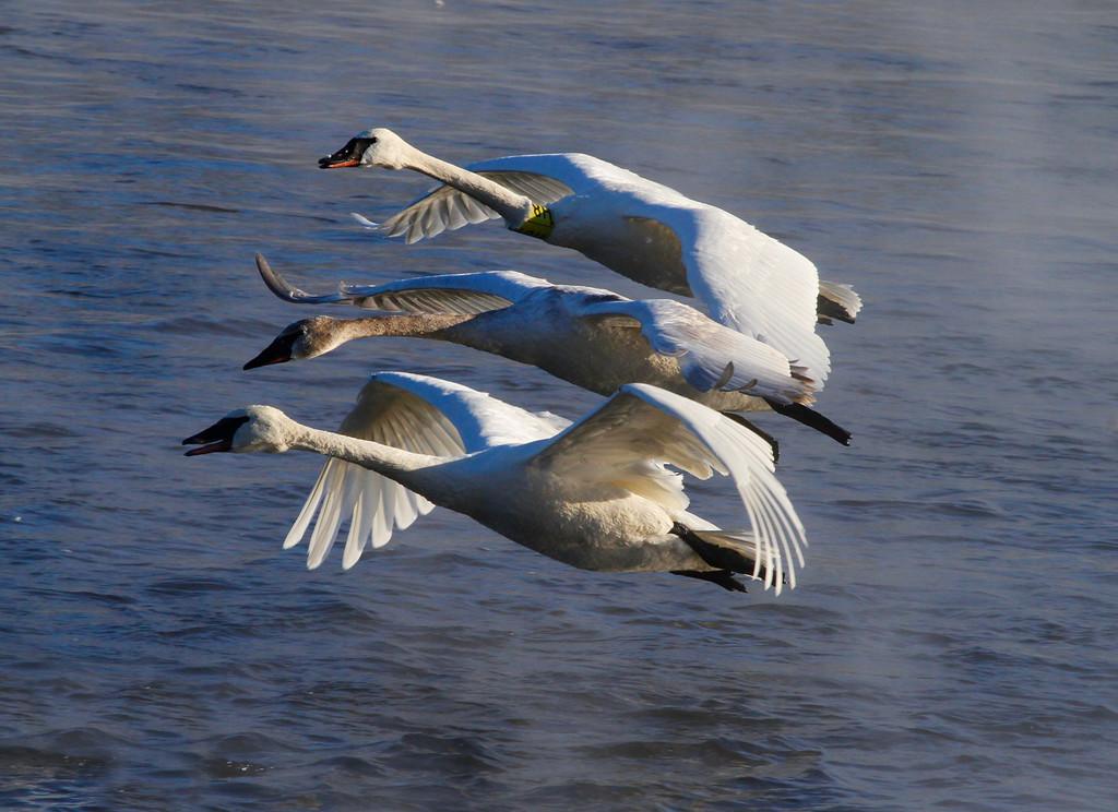 Trumpeter swans 39