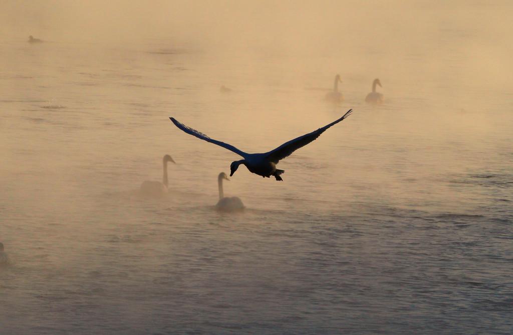 Trumpeter swans 5