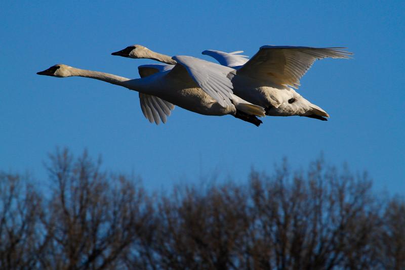 Trumpeter swans 45