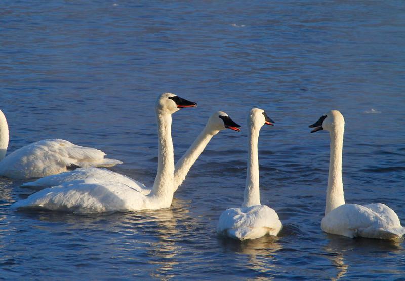 Trumpeter swans 60