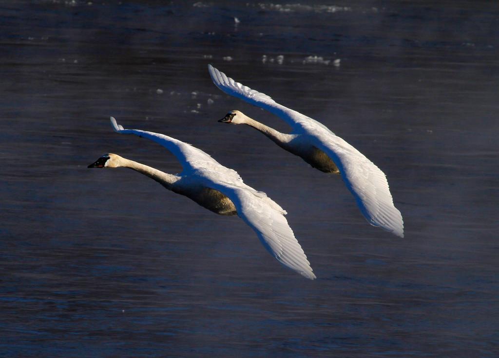 Trumpeter swans 26