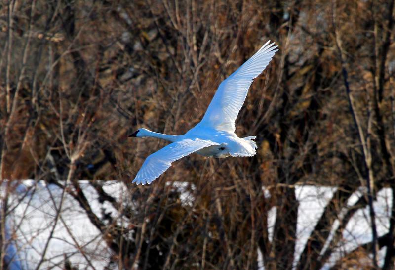 Trumpeter swans 21