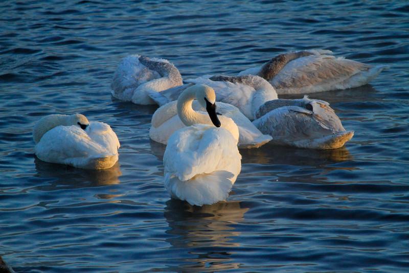 Trumpeter swans 55