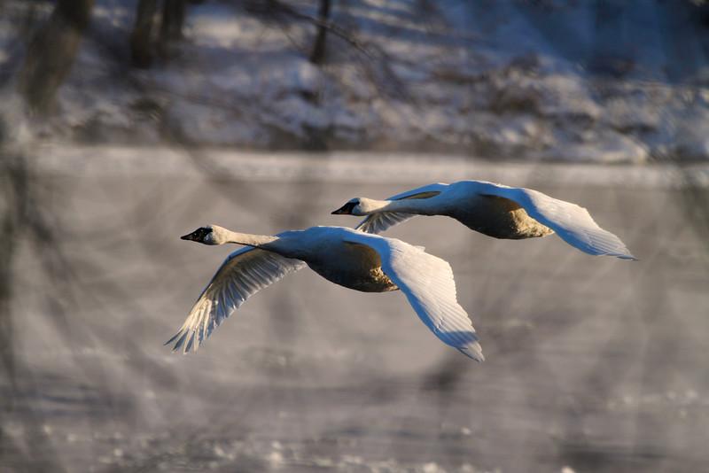 Trumpeter swans 58