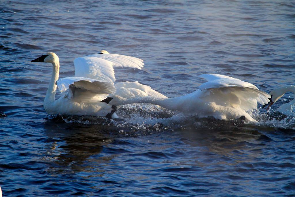 Trumpeter swans 23
