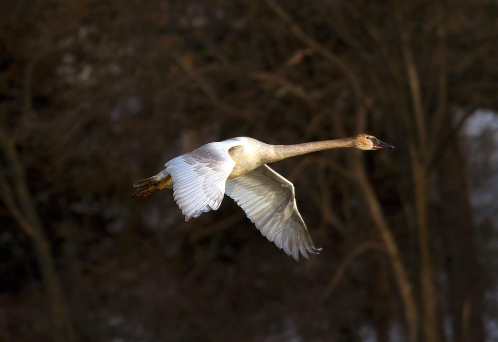 Trumpeter swans 8