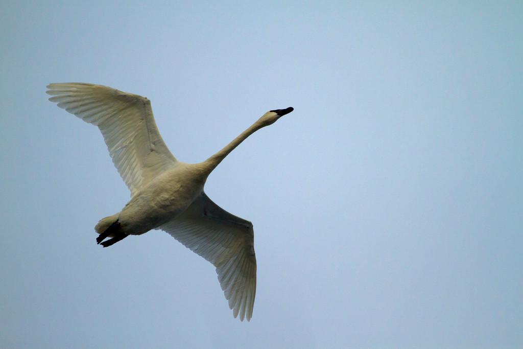 Trumpeter swans 19