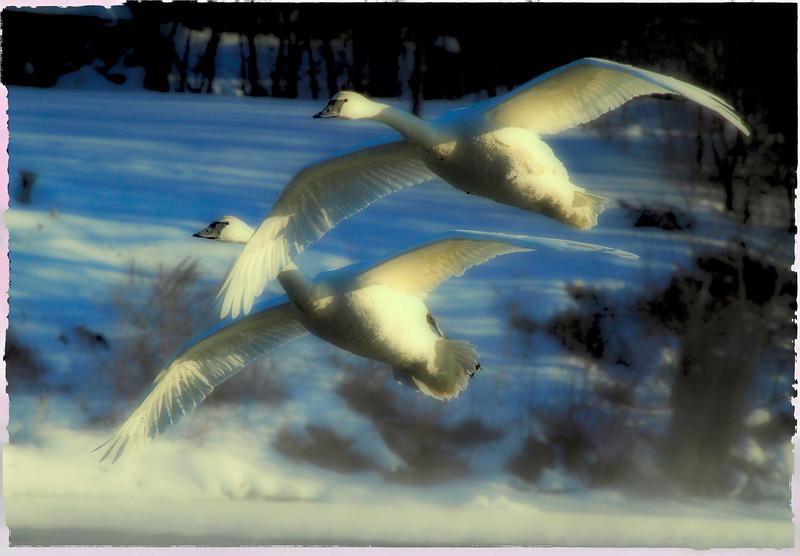 Trumpeter swans 51