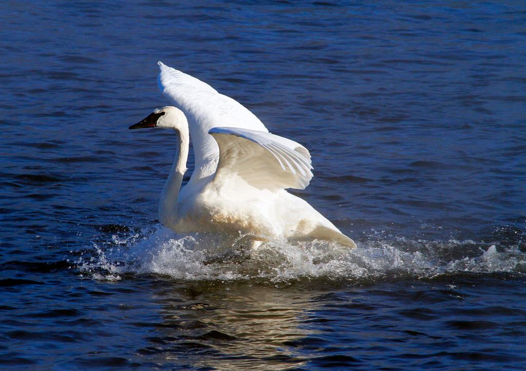 Trumpeter swans 36