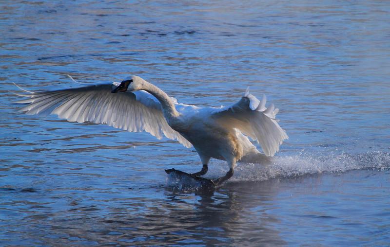 Trumpeter swans 69