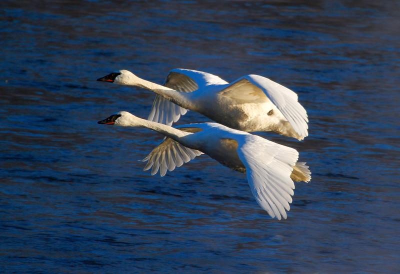 Trumpeter swans 12