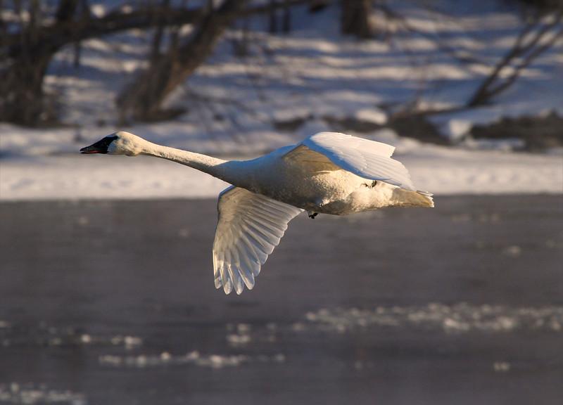 Trumpeter swans 32