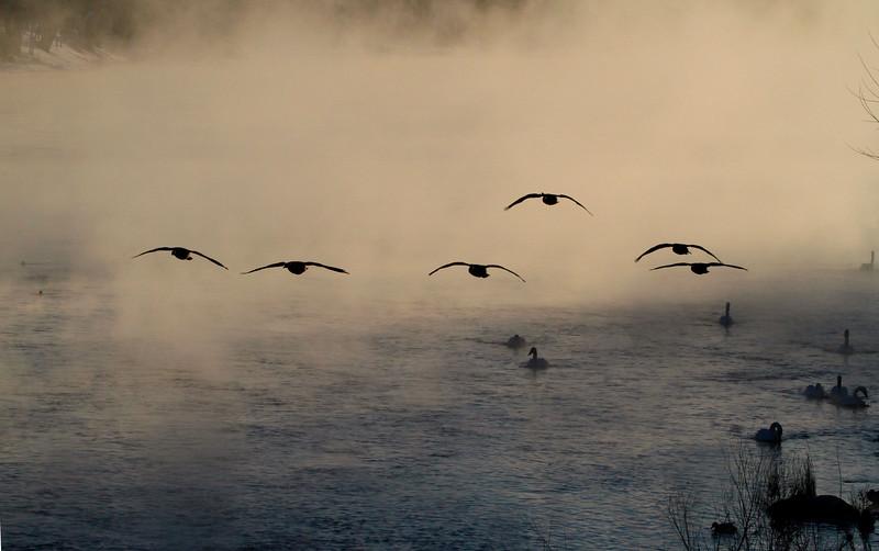 Trumpeter swans 4