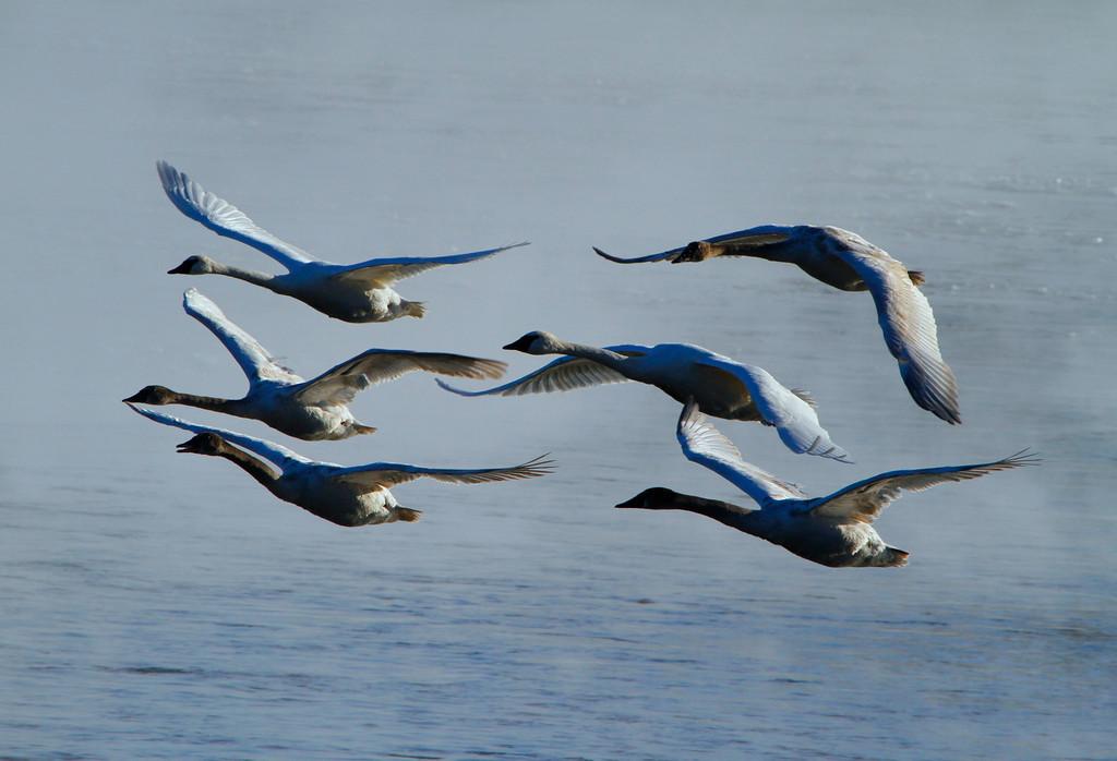 Trumpeter swans 33