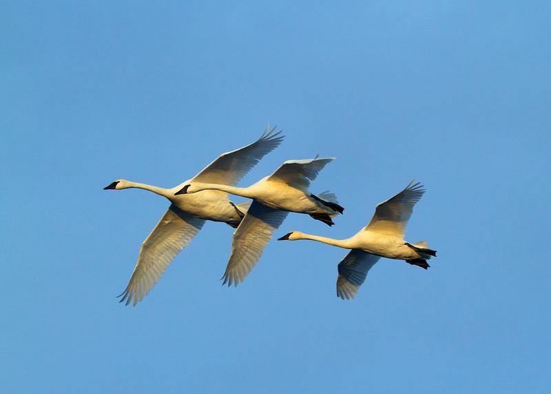 Trumpeter swans 20