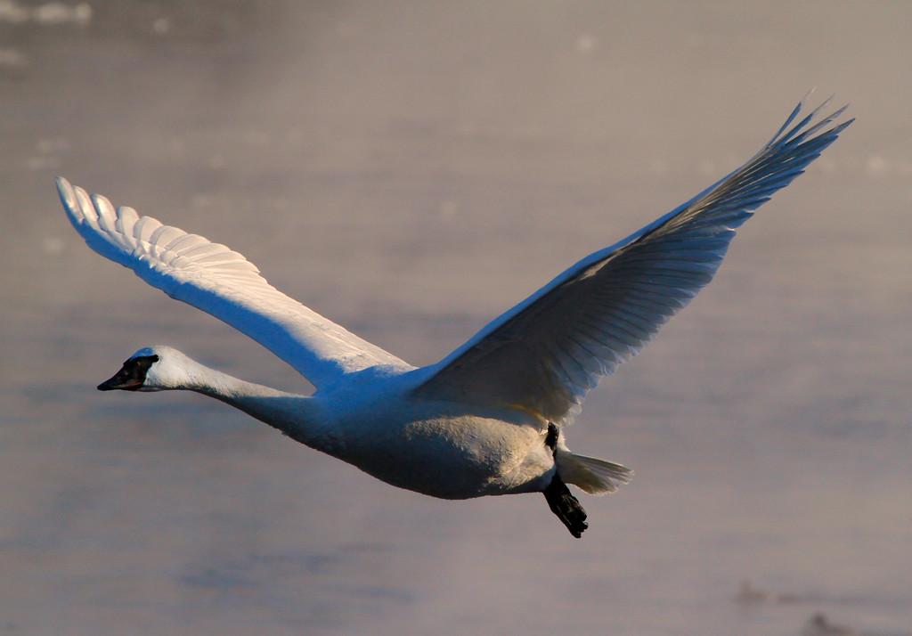 Trumpeter swans 42