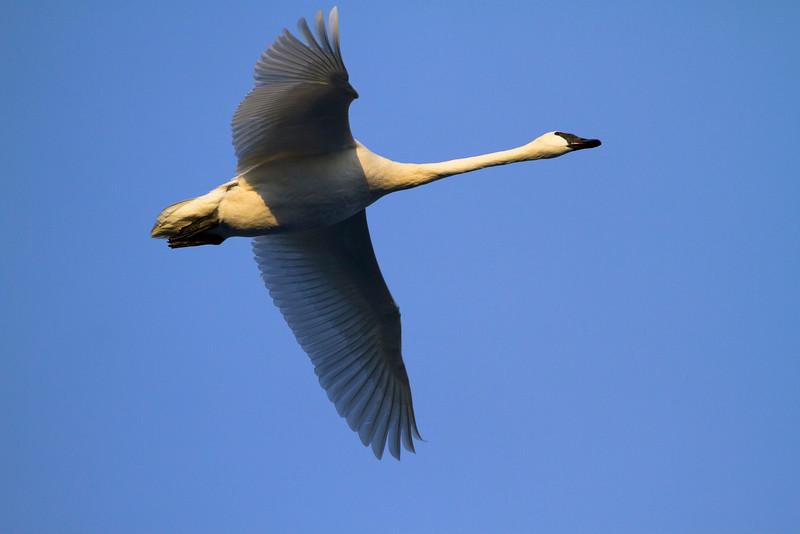 Trumpeter swans 24