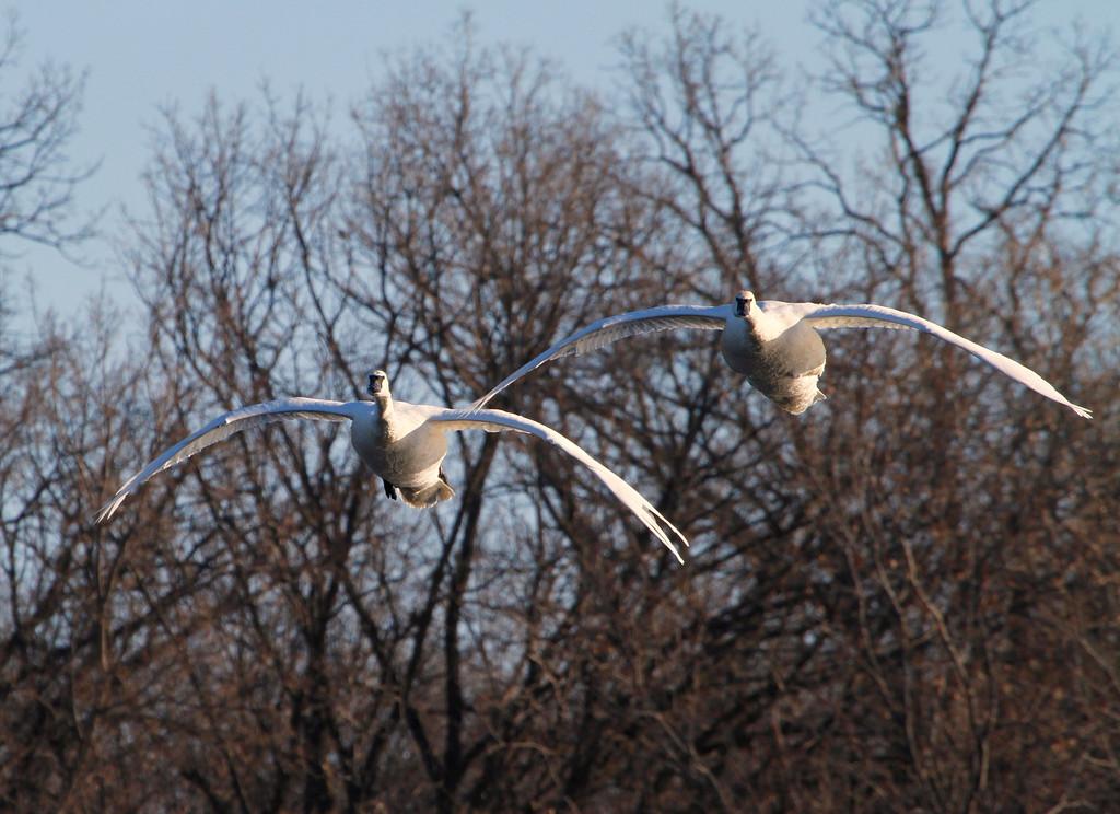 Trumpeter swans 48
