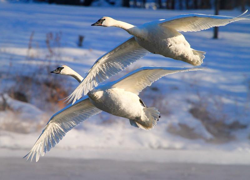 Trumpeter swans 50