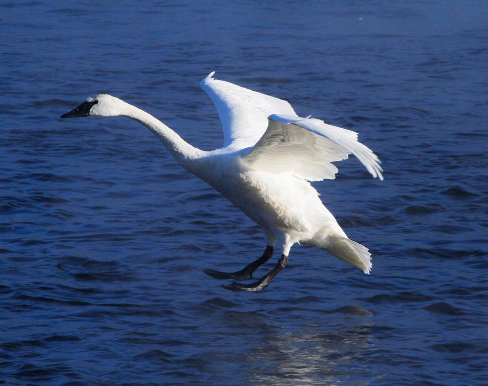 Trumpeter swans 35