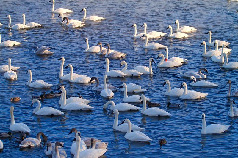 Trumpeter swans 49