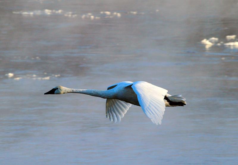 Trumpeter swans 61