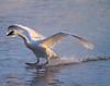 Trumpeter swans 70