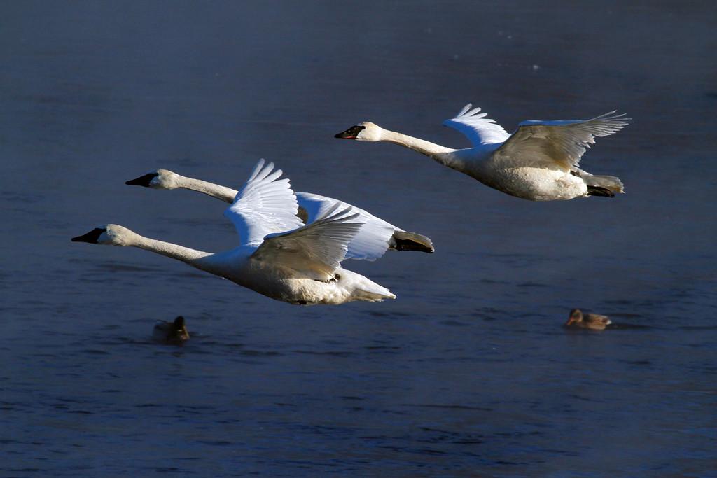 Trumpeter swans 31