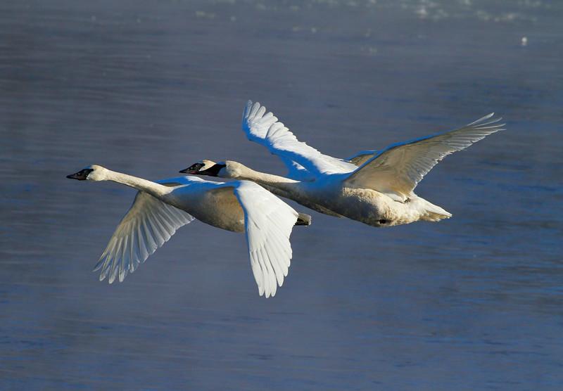 Trumpeter swans 29