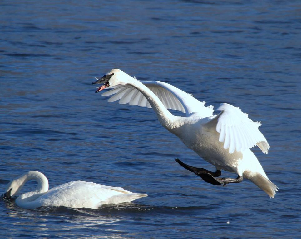Trumpeter swans 44