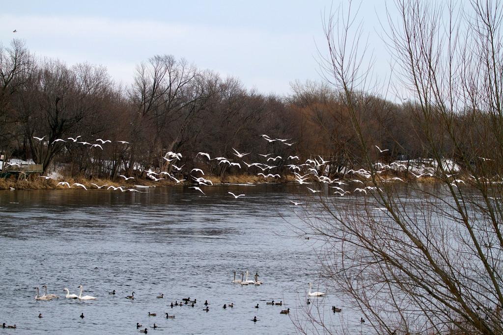Trumpeter swans 13