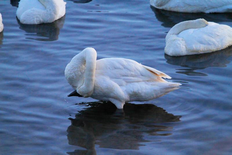 Trumpeter swans 56