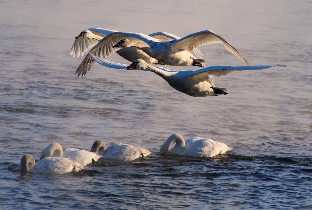 Trumpeter swans 40