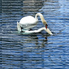 Swans getting ready to mate at Lake Eola park in downtown Orlando, Florida.