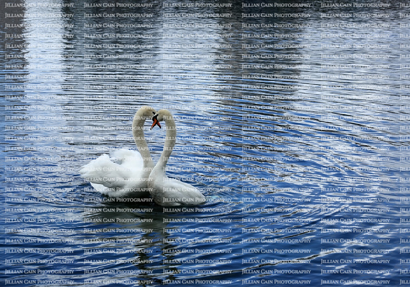 Swans caressing after mating at Lake Eola Park in downtown Orlando, Florida.