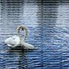 Swans caressing after mating at Lake Eola Park in downtown Orlando, Florida.