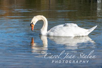 Swans 11