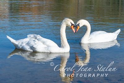 Swans 15