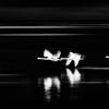 Swans in Flight - 8