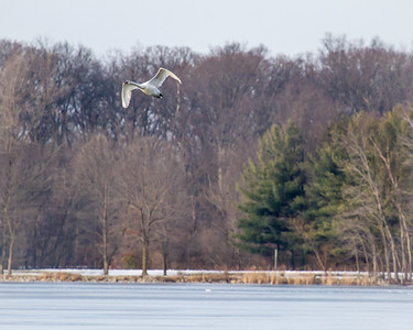 Mute Swan over East Fork Lake