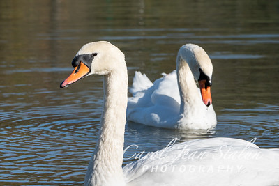 Swans 8