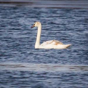 Tundra Swan in Illinois