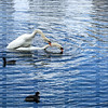 Swans mating underwater at Lake Eola Park in downtown Orlando, Florida.
