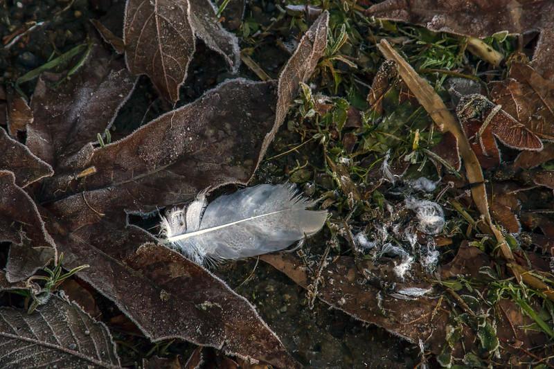 Frost's Dust of Swan
