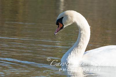 Swans 7