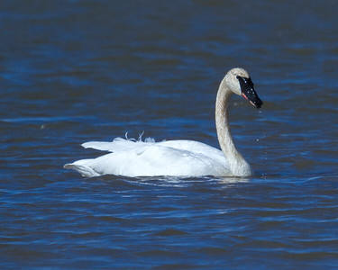 Trumpeter Swan at Goose Pond, IN